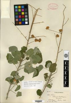 Image of Abutilon straminicarpum
