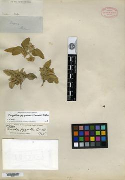 Image of Anoda pygmaea