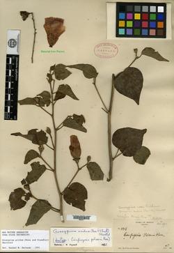 Image of Gossypium aridum