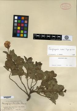Image of Cienfuegosia rosei