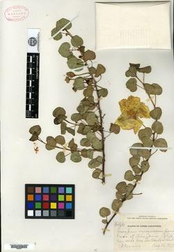 Image of Gossypium armourianum
