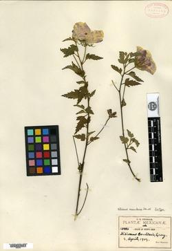 Hibiscus acicularis image