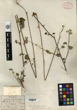 Image of Horsfordia rotundifolia