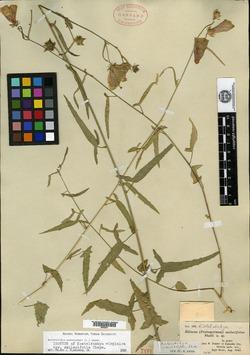Image of Kosteletzkya smilacifolia