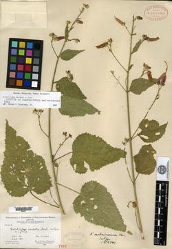 Image of Kosteletzkya malvaviscana