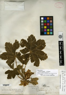 Image of Malva occidentalis