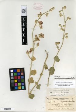 Image of Malvastrum fragrans