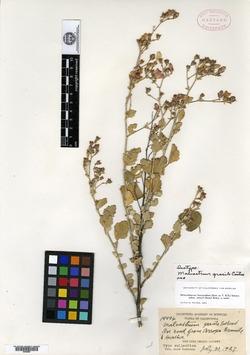 Image of Malvastrum gracile