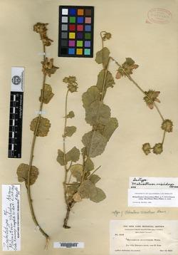 Image of Malvastrum viscidum
