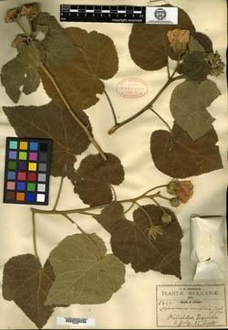 Image of Pavonia firmiflora