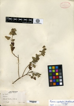 Image of Pavonia nepetifolia