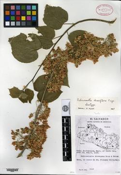 Image of Robinsonella densiflora