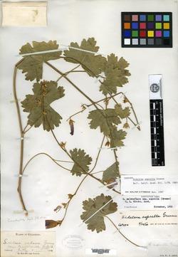 Image of Sidalcea asprella