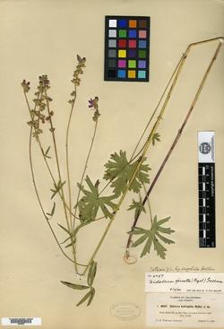 Image of Sidalcea hydrophila