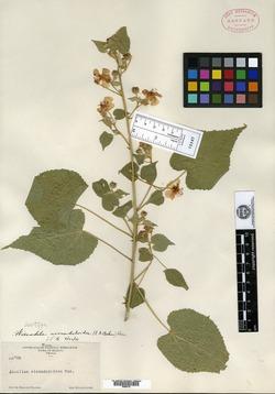 Image of Bastardiastrum wissaduloides