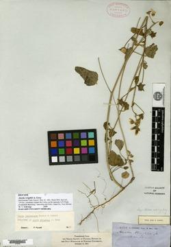 Anoda lanceolata image