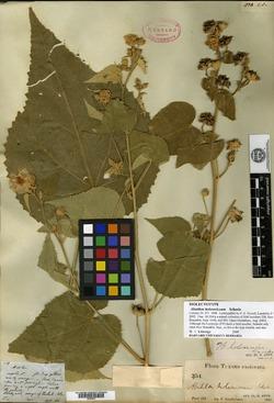 Abutilon holosericeum image