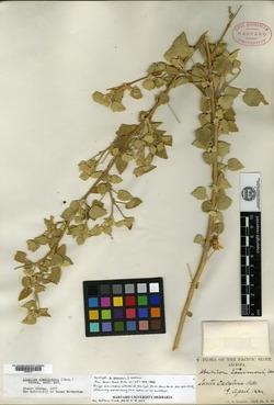 Abutilon lemmonii image