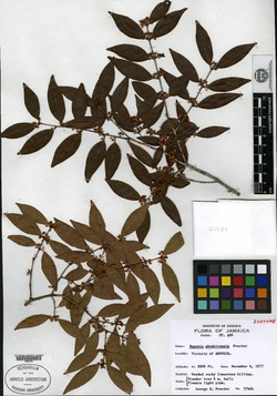 Image of Eugenia aboukirensis