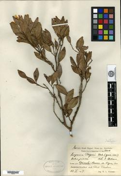 Image of Calycolpus beyeri
