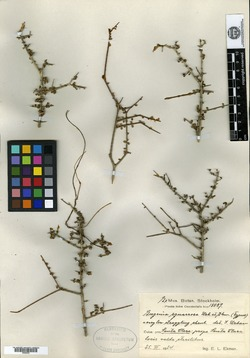 Image of Eugenia anthacanthoides