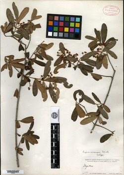 Image of Eugenia avicenniae