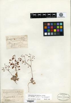 Image of Eriogonum rubiflorum