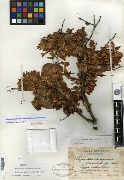 Image of Ruprechtia chiapensis