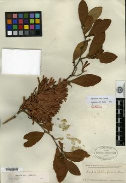 Image of Ruprechtia fusca