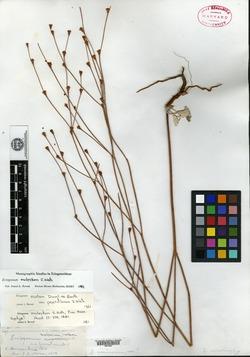 Eriogonum molestum image