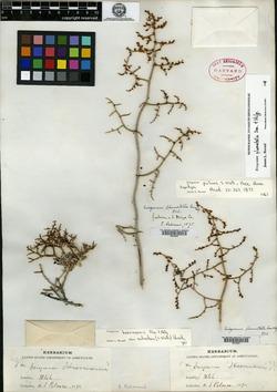 Image of Eriogonum palmeri