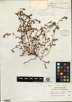 Image of Polygonum caurianum