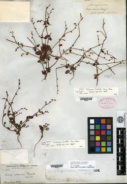 Image of Eriogonum foliosum