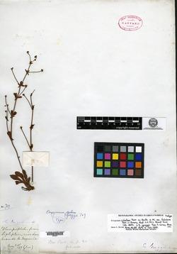 Image of Eriogonum greggii
