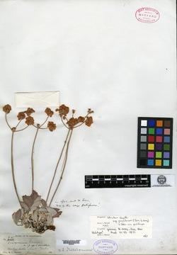 Image of Eriogonum greenei