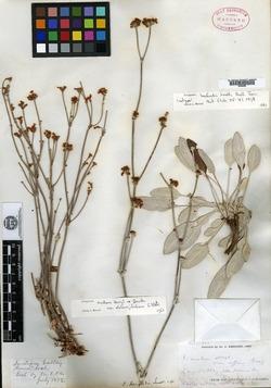 Image of Eriogonum harfordii