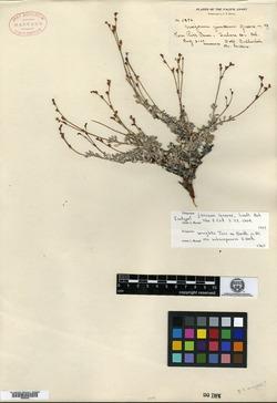 Image of Eriogonum junceum
