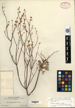 Image of Eriogonum juncinellum