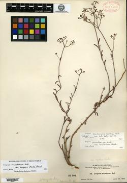 Image of Eriogonum macdougalii