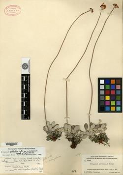 Image of Eriogonum ochroleucum