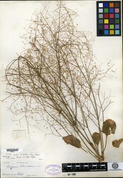 Eriogonum ordii image