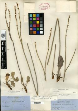 Image of Eriogonum orthocladon