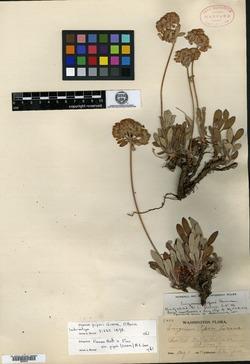 Image of Eriogonum piperi
