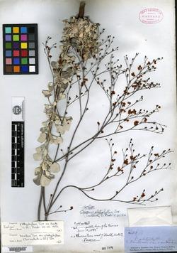 Image of Eriogonum platyphyllum