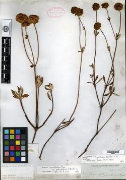 Image of Eriogonum polyanthum