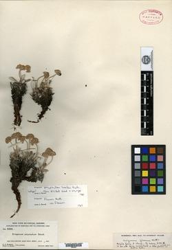 Image of Eriogonum polyphyllum