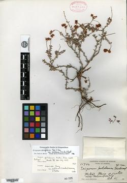 Eriogonum pulchrum image