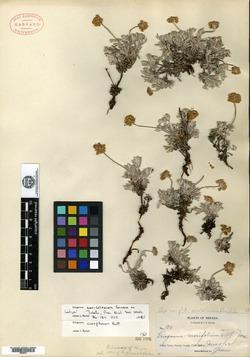 Image of Eriogonum sericoleucum