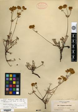 Image of Eriogonum smallianum