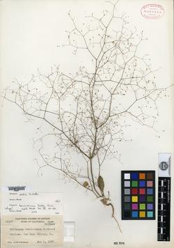 Image of Eriogonum tenuissimum